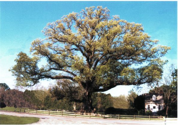 The Wye Oak.