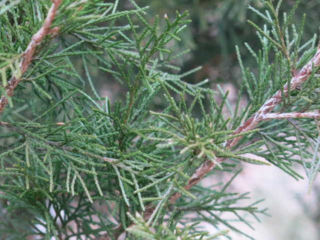 eredcedarfoliage1