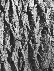 black-walnut3