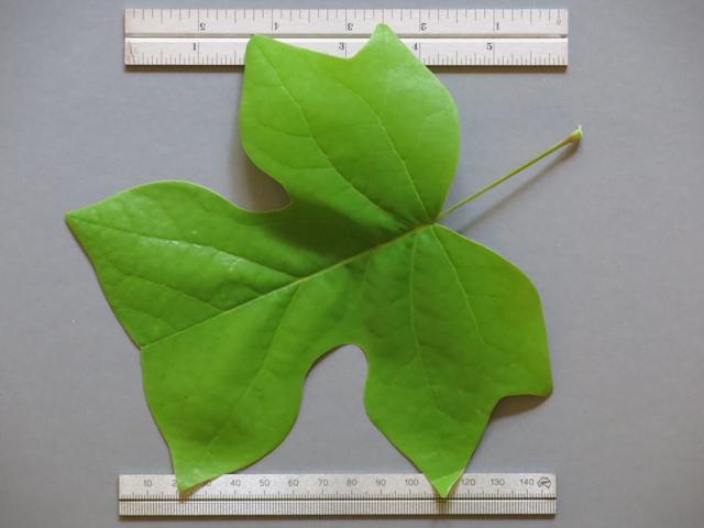 tuliptreeLeaf