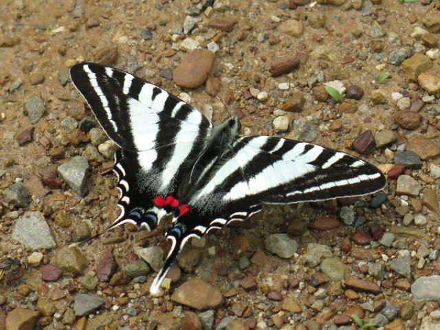 zebraSwallowtail