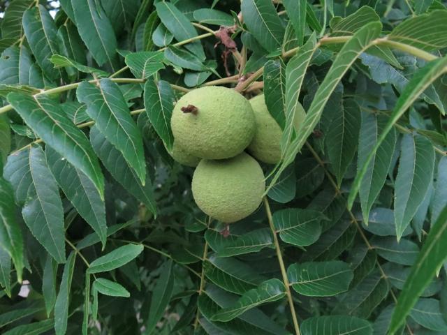 walnutFruit
