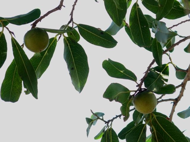 jackalberryFruit