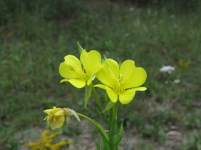 commonEveningPrimrose